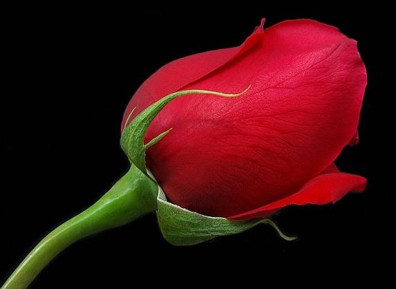 red rose6 Nusaibah binti Kaab: Srikandi Penolong Rasulullah